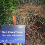 Sea buckthorn, a unique ingredient, shown here in the wild (sort of..)